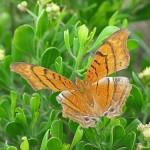 V_butterfly
