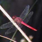Gallery Veselka Dragonfly
