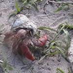 hermit_crab_low