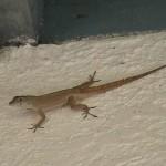 lizard_two_low